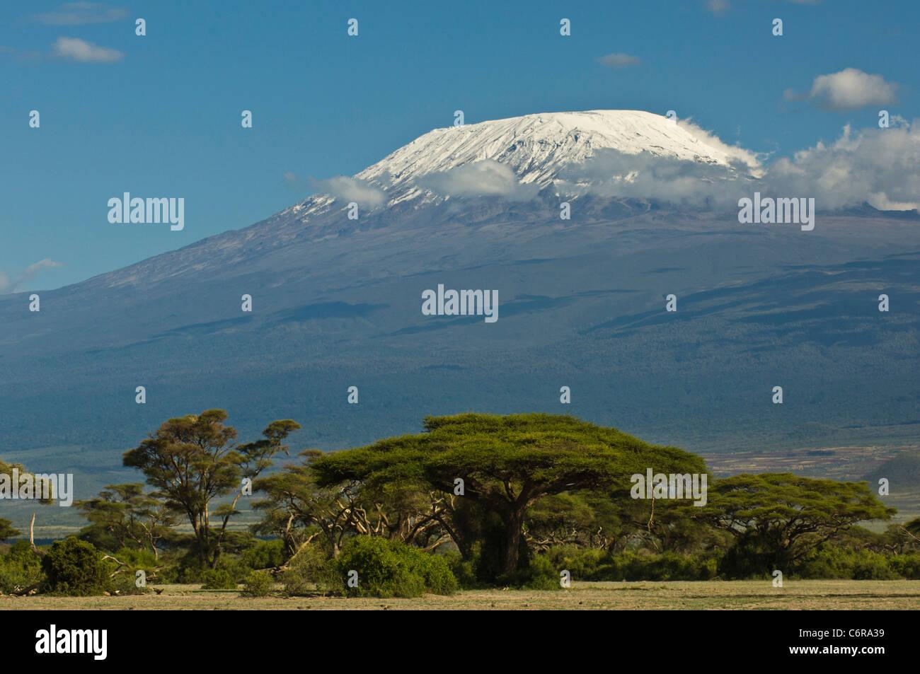 Mt Kilimanjaro's snow-capped Kibo peak with umbrella thorn acacias (Acacia tortilis) in the foreground. - Stock Image