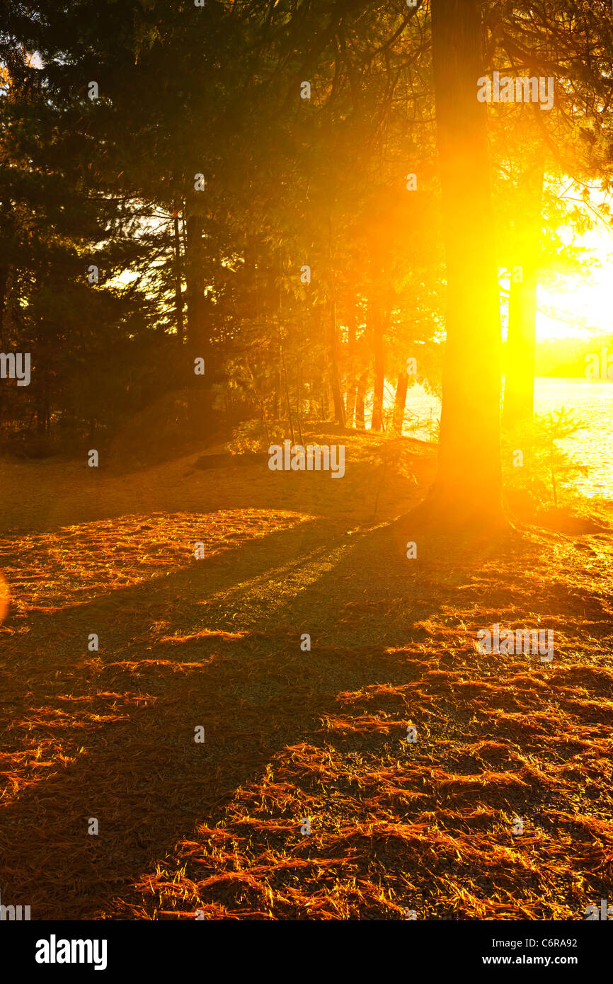 Sun shining through pine trees near Lake of Two Rivers in Algonquin Park, Ontario, Canada. Intentional lens flare. - Stock Image
