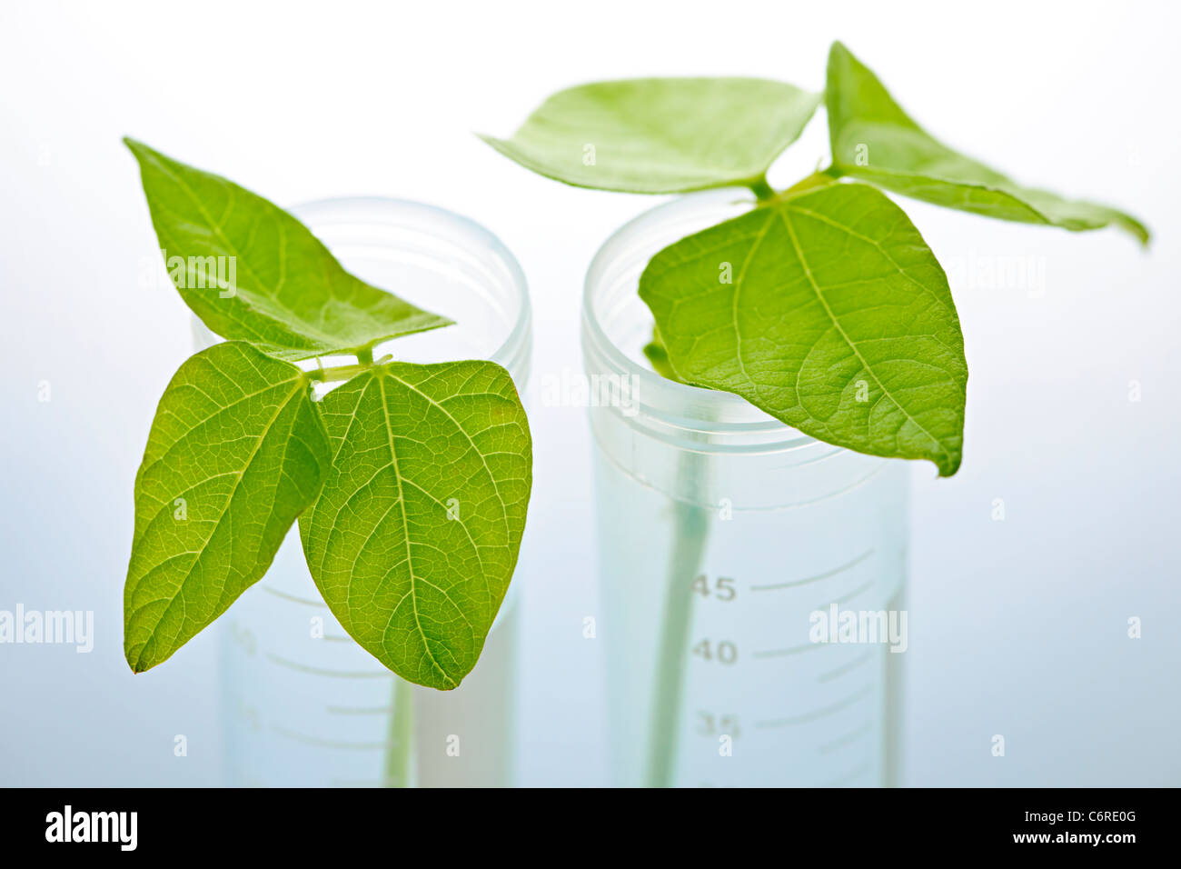Genetically modified plant seedlings in two test tubes Stock Photo
