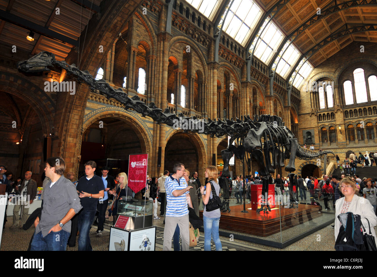 Natural History Museum, Diplodocus skeleton, London, Britain, UK - Stock Image