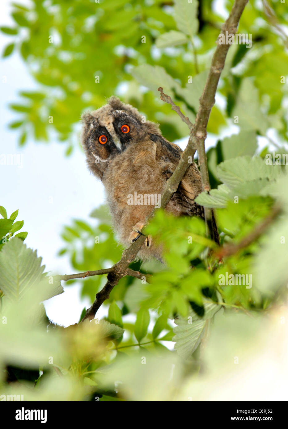 Long Eared Owl chick - Stock Image