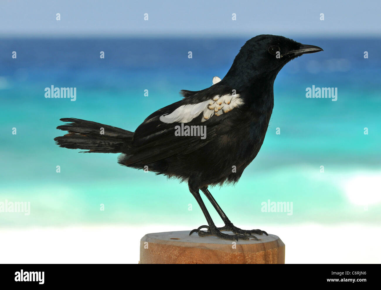 Seychelles Magpie Robin (Copsychus sechellarum) endangered bird from the Seychelles in the Indian Ocean. - Stock Image