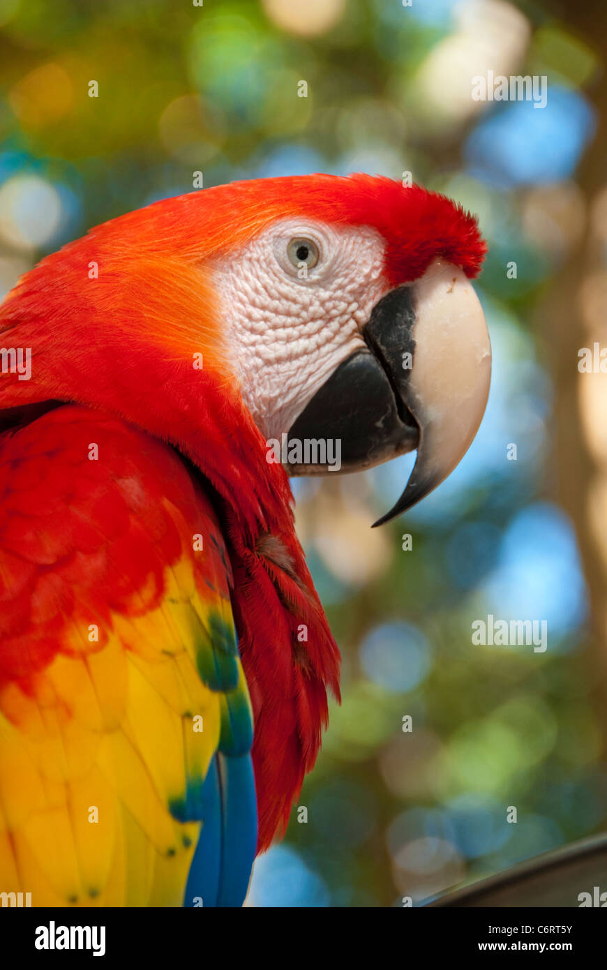 Colorful parrot in reds, blues, yellows and greens photographed in the jungles of Honduras - Stock Image