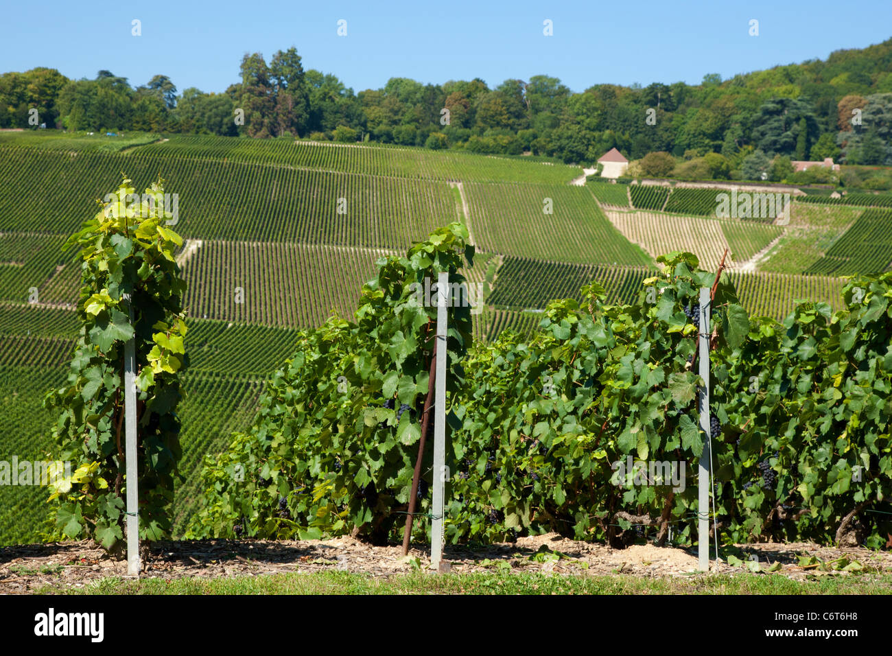 Vineyards in Champaign region - Stock Image