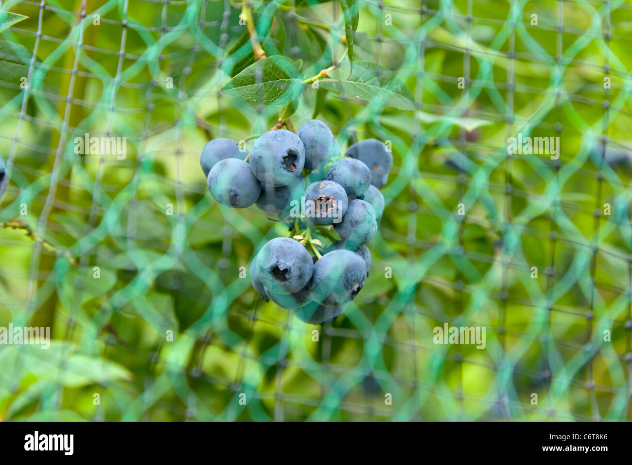 Blueberries being protected from birds by netting - Stock Image