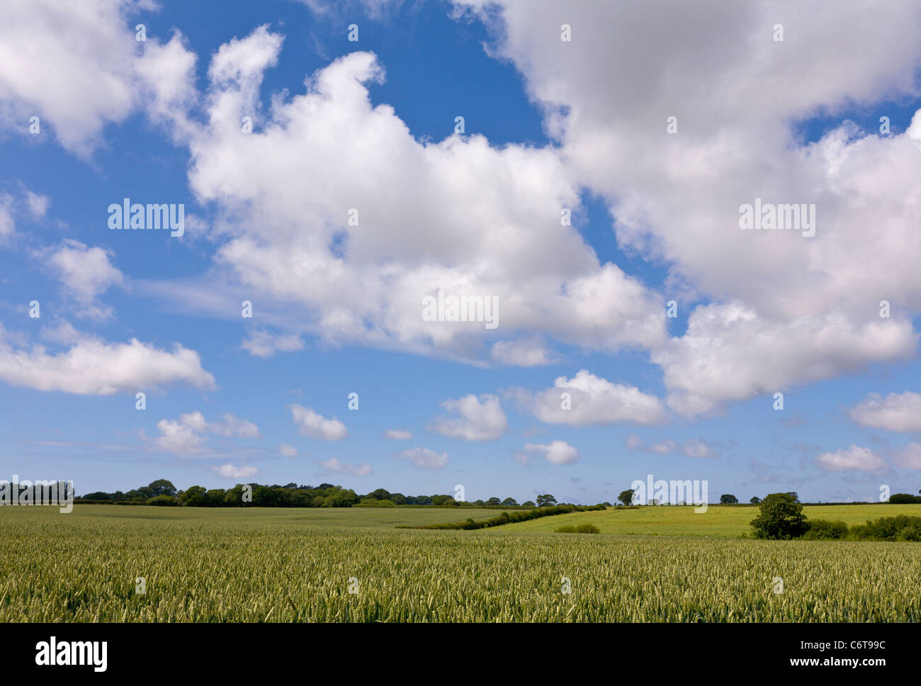 Wheat field on sunny day - Stock Image
