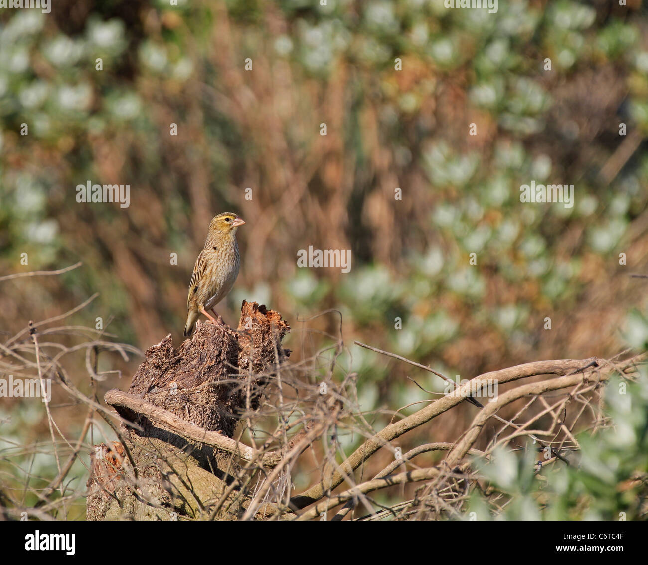 Female juvenile Southern Red Bishop or Red Bishop (Euplectes orix)  bird. - Stock Image
