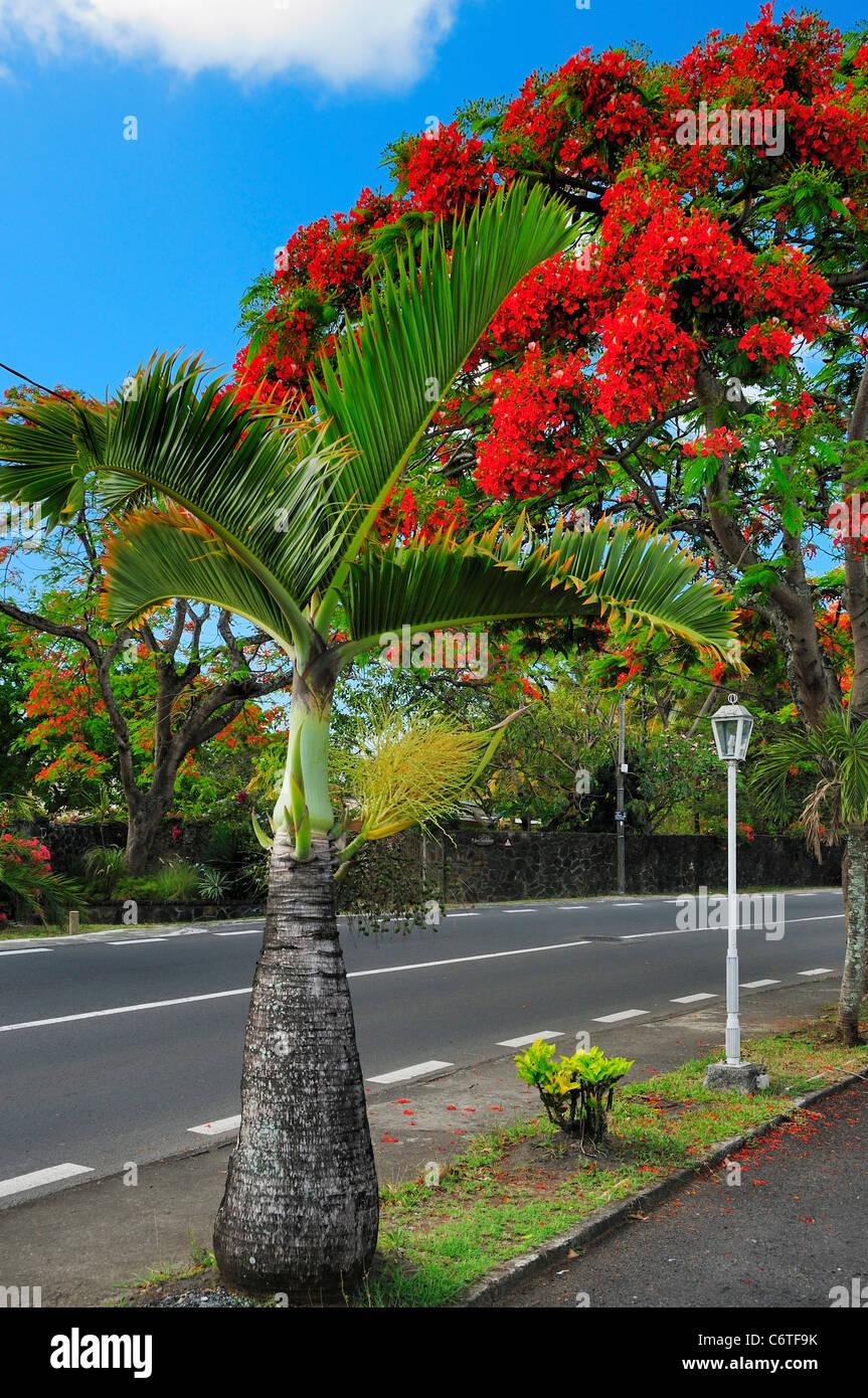 Royal Poinciana Trees (English) Flamboyan Real (Spanish) in Cap Malheureux, Riviere Du Rempart, Mauritius. - Stock Image