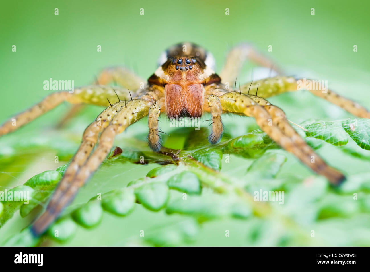 Raft Spider hunting on fern leaves - Stock Image