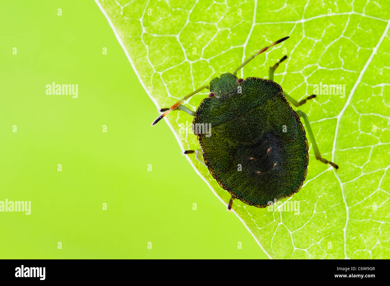 Green Shield Bug nymph resting on underside of a leaf - Stock Image