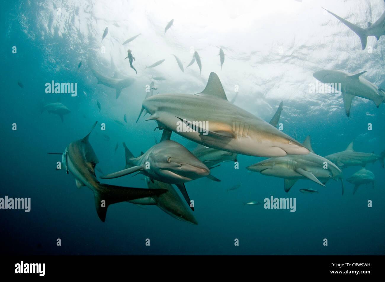Blacktip shark Stock Photo
