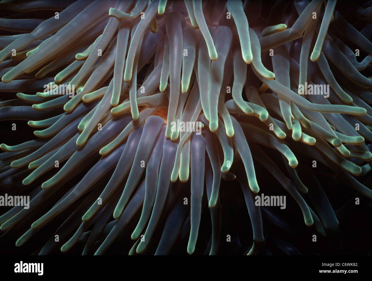 Tentacles of the Magnificent Sea Anemone (Heteractis magnifica). Borneo, South China Sea - Stock Image
