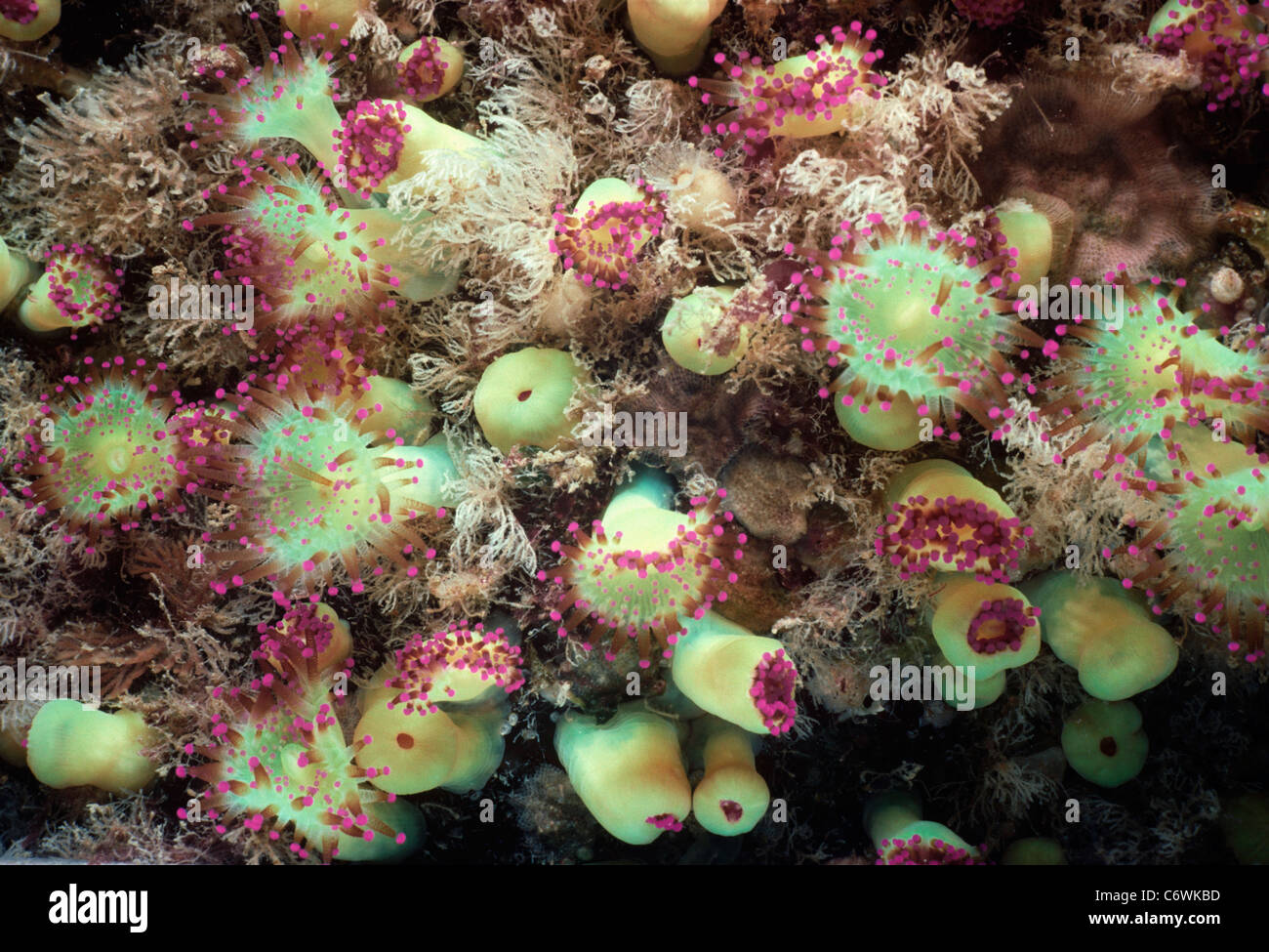 Colony of Jewel Anemones (Corynactis viridis) feeding. Brittany, France - Atlantic Ocean - Stock Image