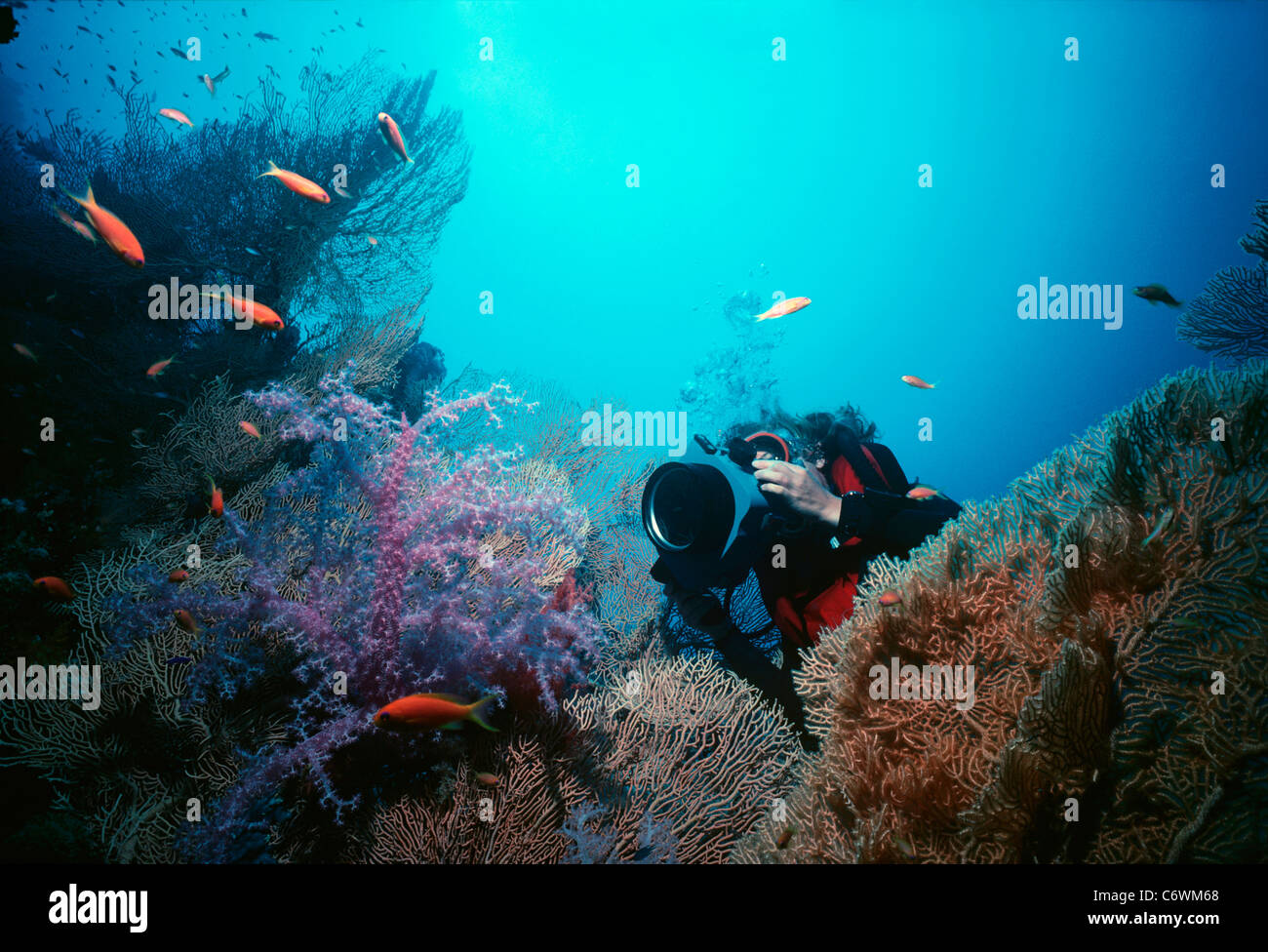 Diver photographs Scalefin Anthias (Anthias squamipinnis) schooling above coral reef wall. Egypt, Red Sea - Stock Image