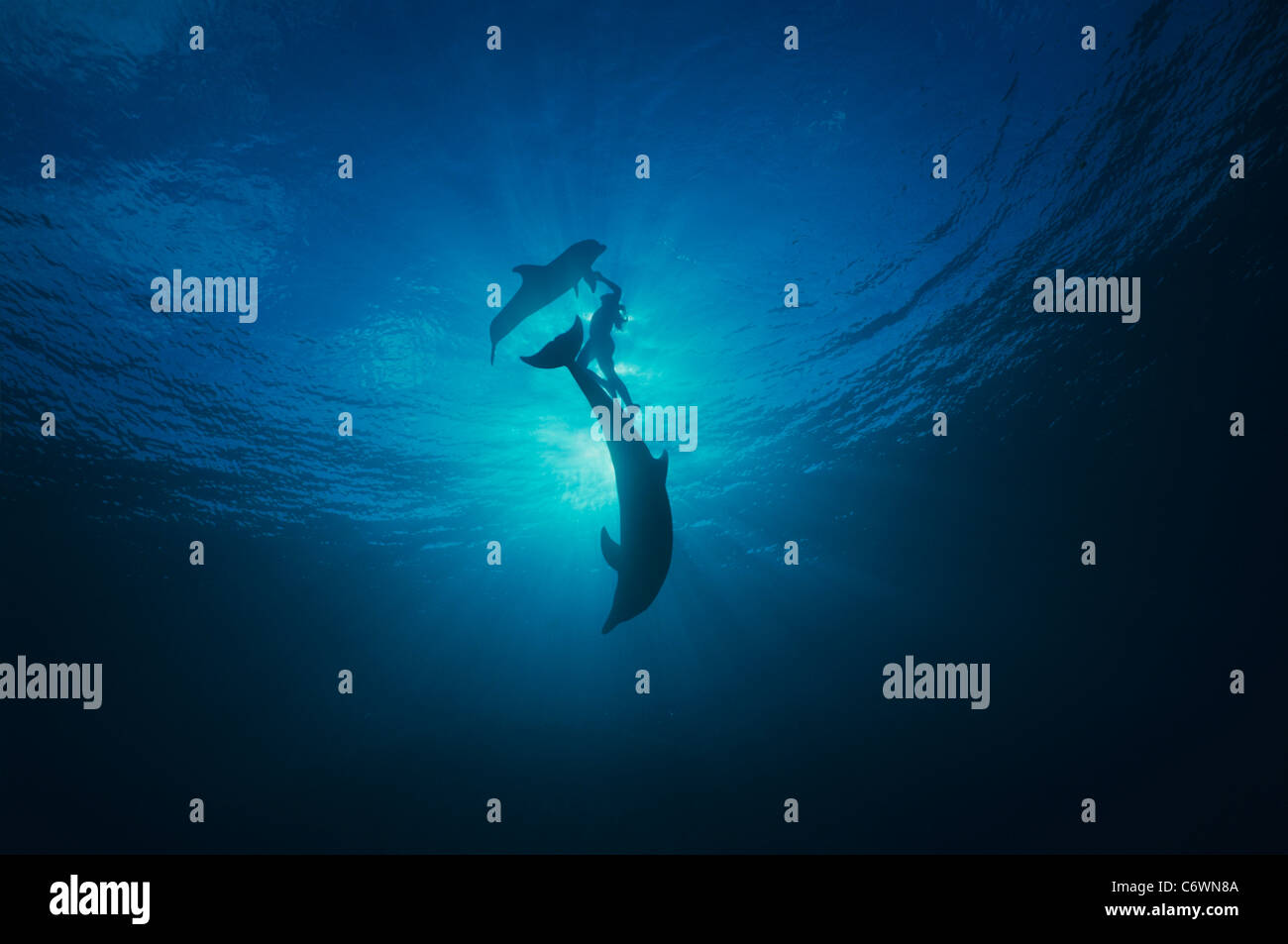 Dolphin trainer surfaces with Bottlenose Dolphins (Tursiops truncatus), Dolphin Reef, Eilat, Israel, Red Sea - Stock Image