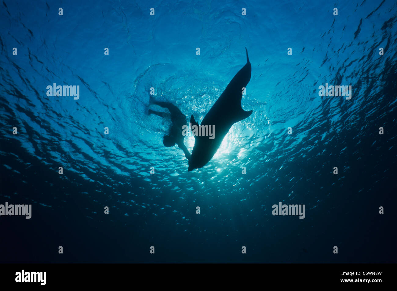 Dolphin trainer diving through surface with Bottlenose Dolphin (Tursiops truncatus), Dolphin Reef, Eilat, Israel, - Stock Image