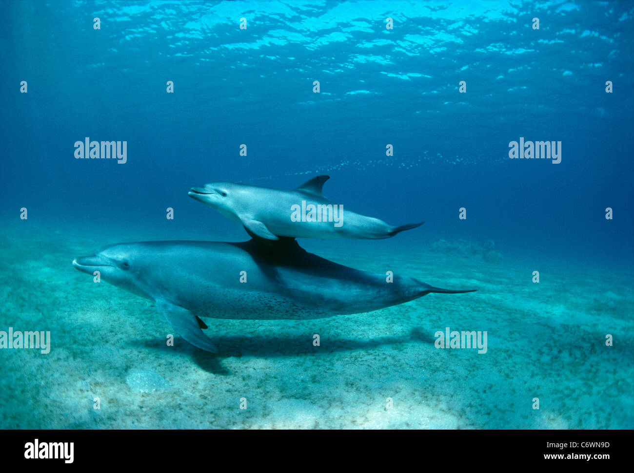 Wild Bottlenose Dolphins (Tursiops truncatus), calf swimming with mother. Nuweiba, Egypt, Red Sea - Stock Image