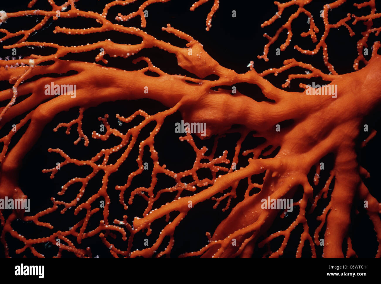 Scarlet Sea Fan Gorgonia Coral (Melithaea sp.), Palau Islands, Micronesia, Pacific Ocean - Stock Image