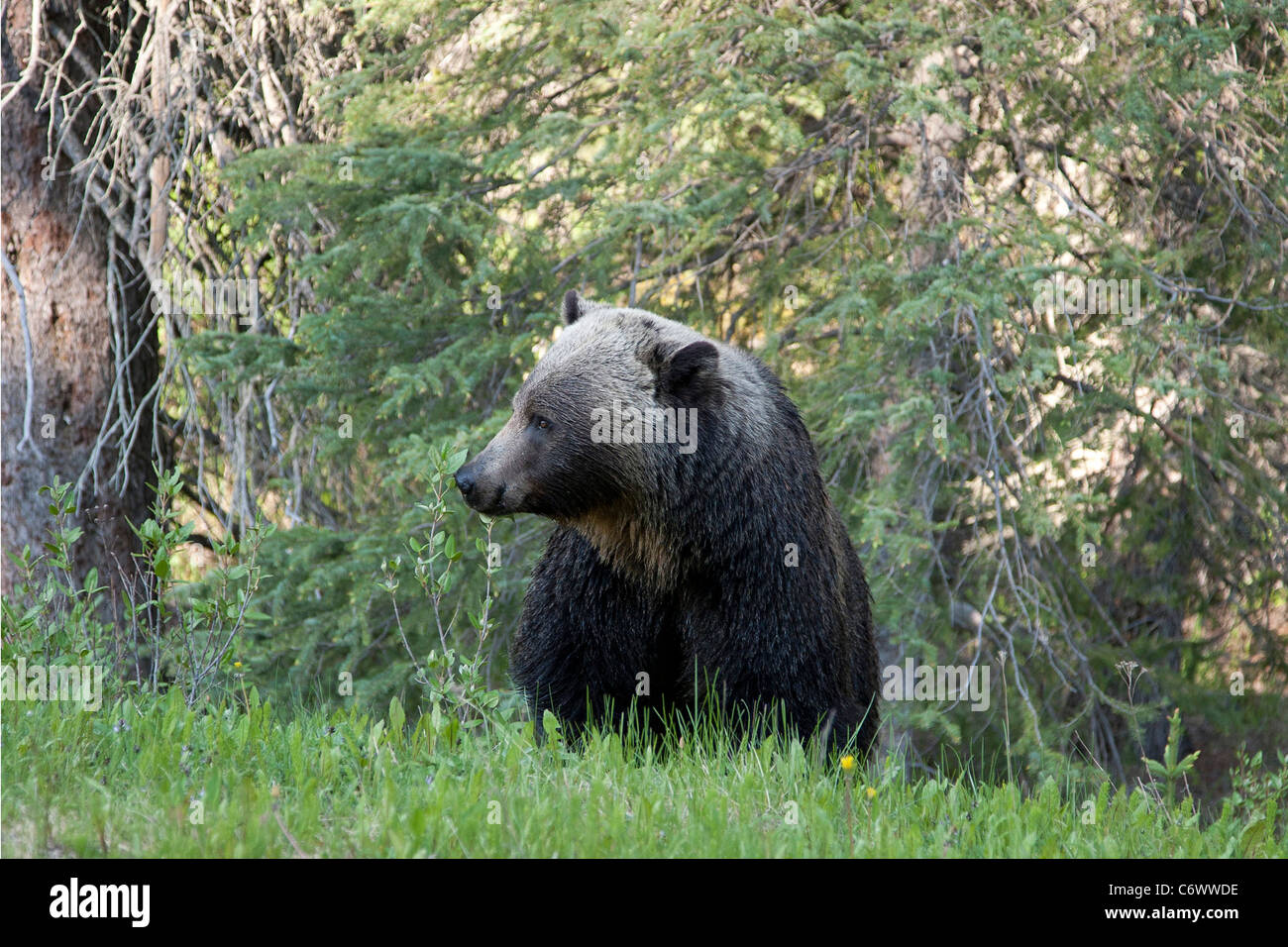 Grizzly Bear in Canadian Rockies - Stock Image
