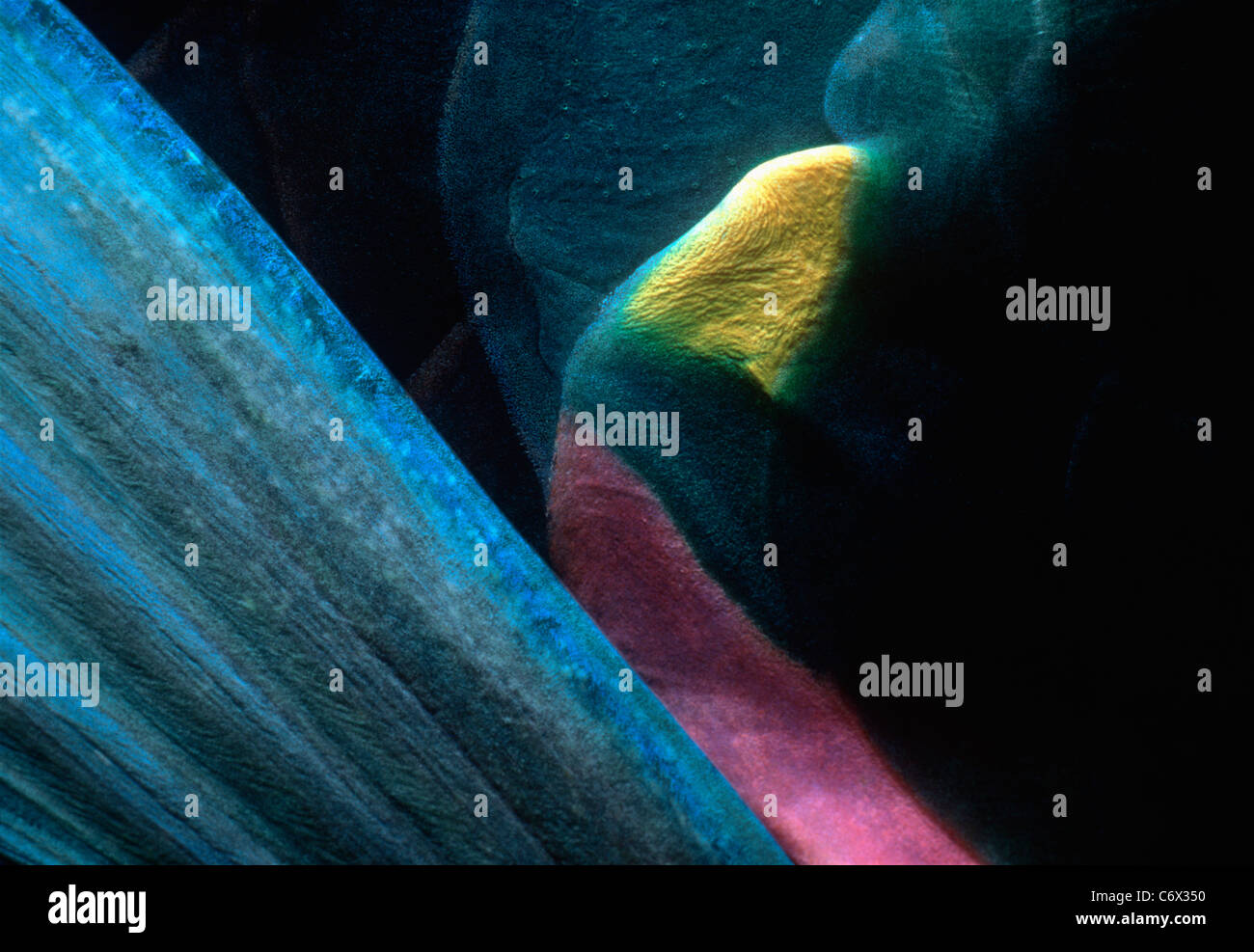 Pectoral fin of Stoplight Parrotfish (Sparisoma viride), Bahamas - Caribbean Sea - Stock Image