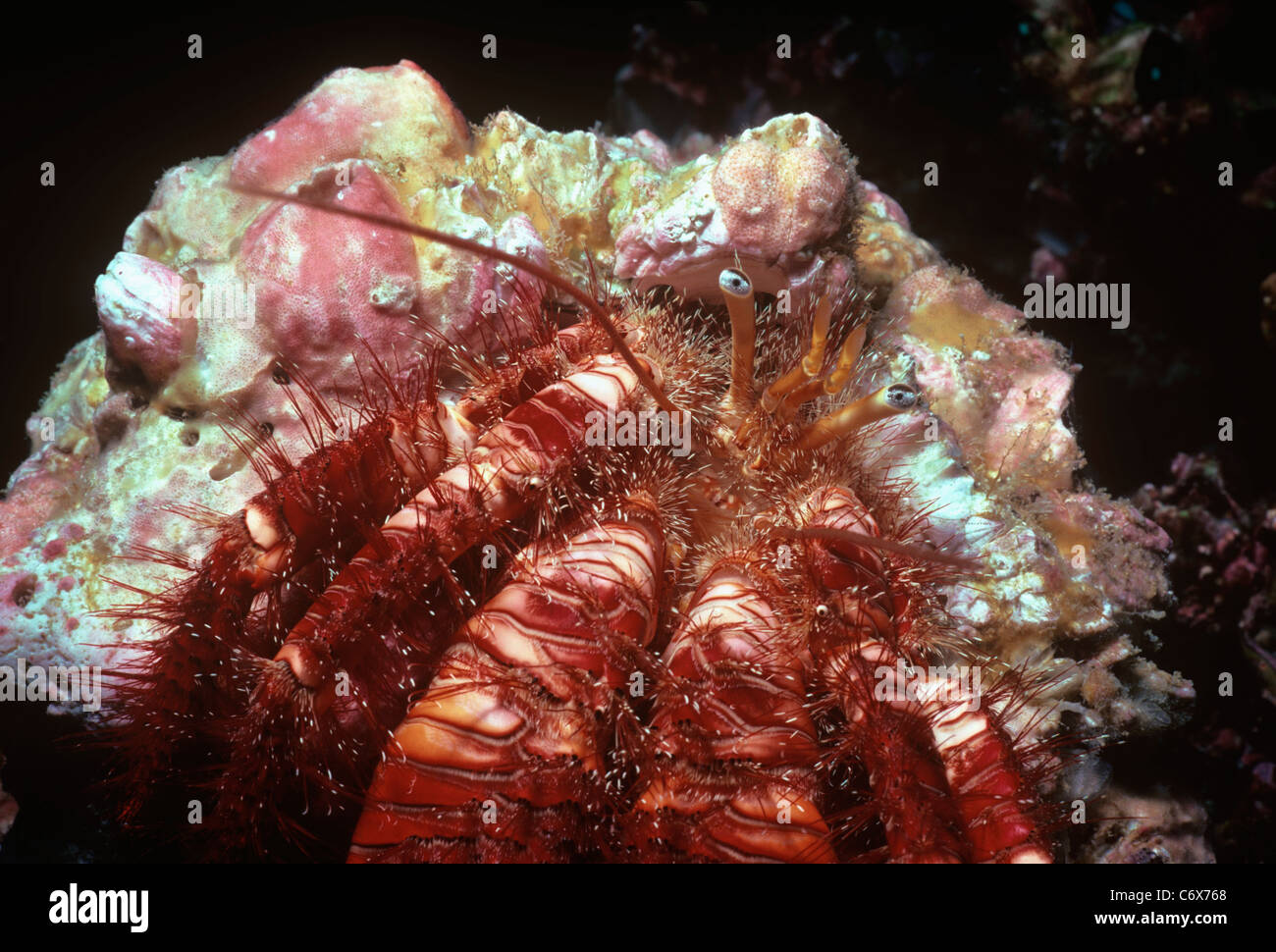 Hairy Hermit Crab (Aniculus elegans) camouflaged on coral reef at night, Tagus Cove, Galapagos Islands - Pacific - Stock Image
