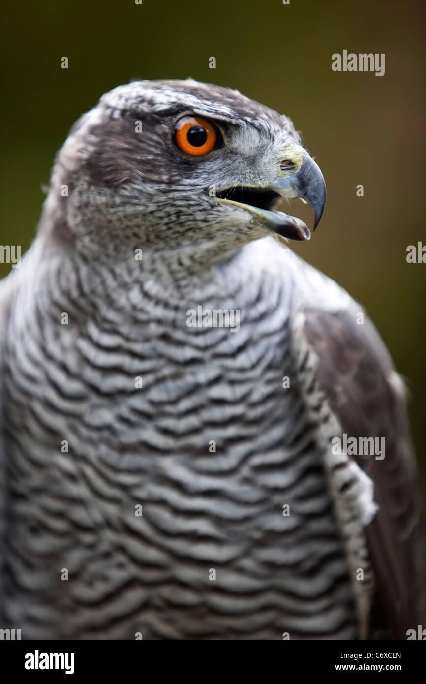 Captive Peregrine Falcon closeup head perched on gauntlet 119986_Bird Show - Stock Image