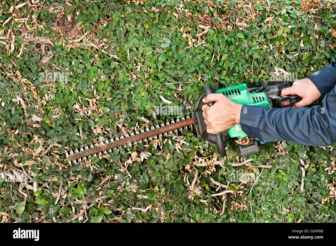 A man uses a gas powered hedge trimmer to trim vines - Stock Image