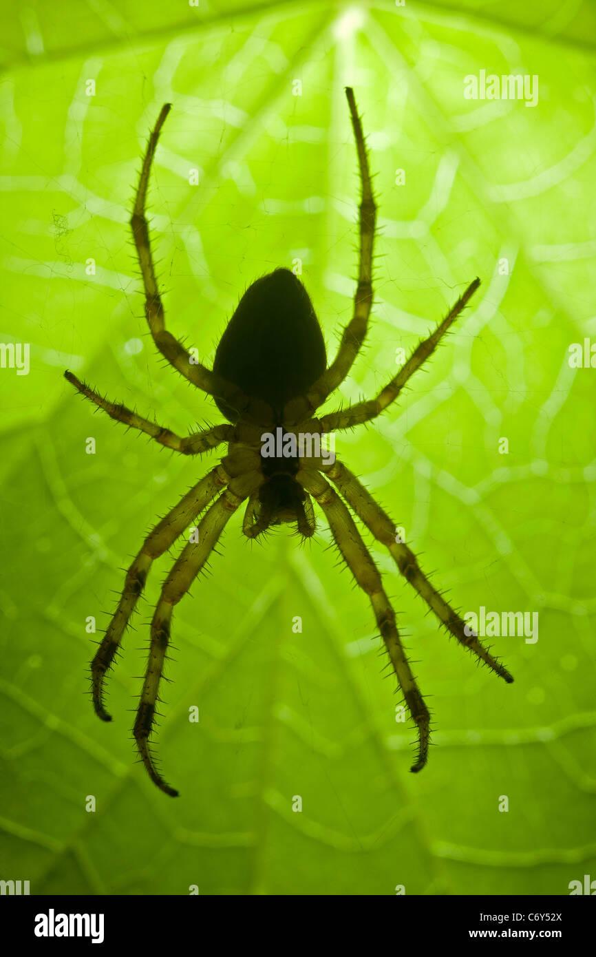 A close-up on a female cross-spider (Arenatus diadematus). Épeire diadème (Araneus diadematus) femelle - Stock Image