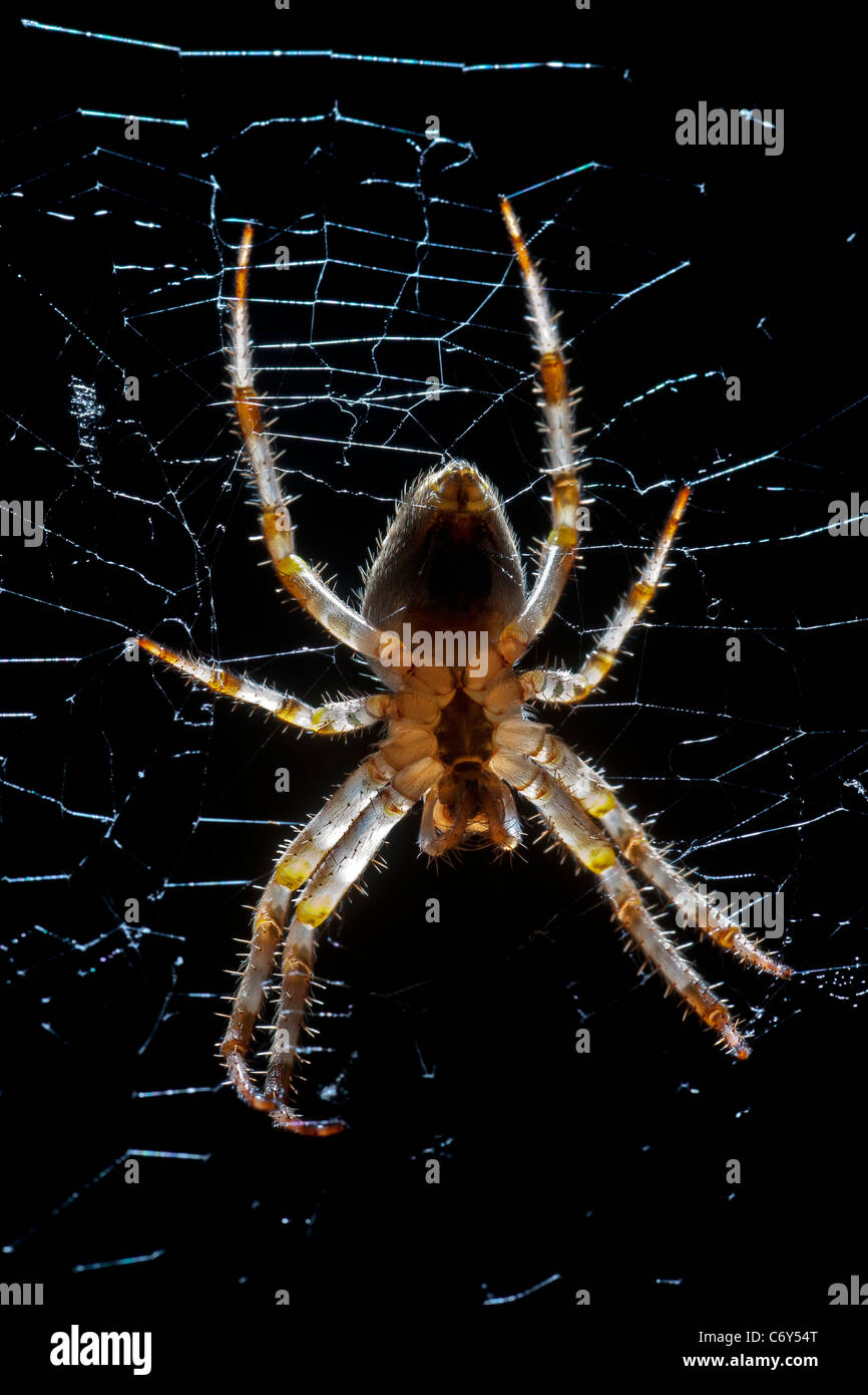 A close-up on a female garden spider (Arenatus diadematus). Épeire diadème (Araneus diadematus) femelle - Stock Image