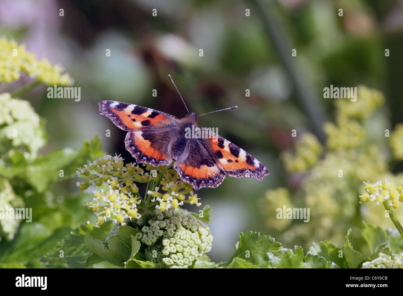 Small Tortoiseshell Butterfly, Aglais urticae, Nymphalidae family, photo taken in Ilfracombe, Devon, United Kingdom - Stock Image