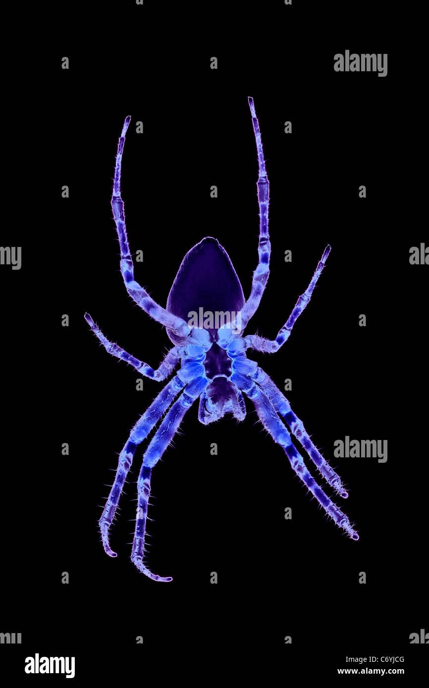 A spider with psychedelic colors (photomontage). Araignée aux couleurs psychédéliques (photomontage). - Stock Image