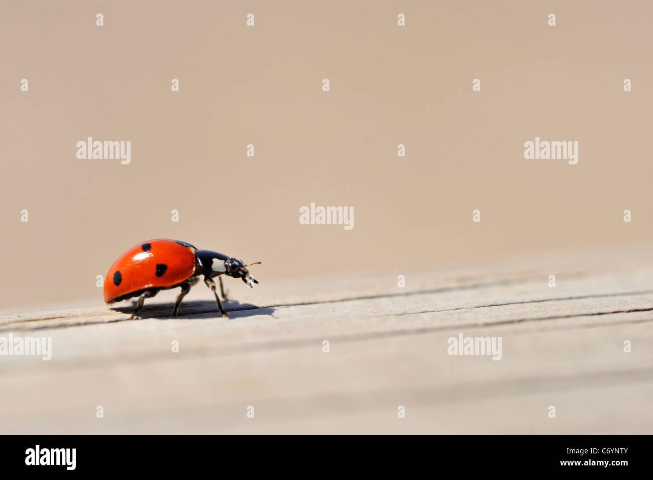 Ladybug / Ladybird on wooden fence close-up Stock Photo