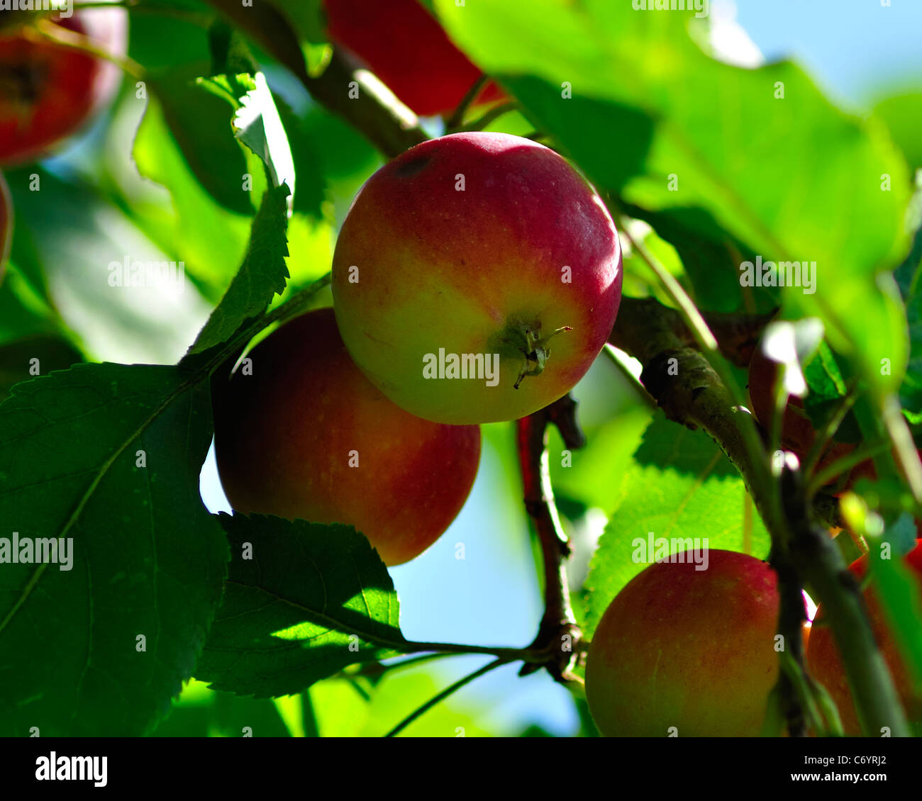 Apple; Apple Tree; Fruit; Tree; Harvesting; Crop; Farm; agriculture; red; background; beautiful; beauty; branch; Stock Photo