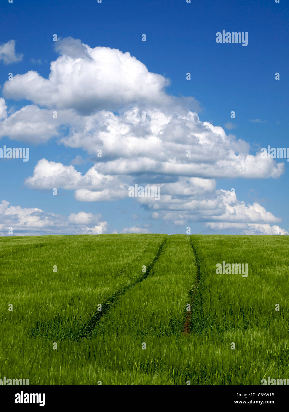 Tire tracks in a green wheat field. - Stock Image