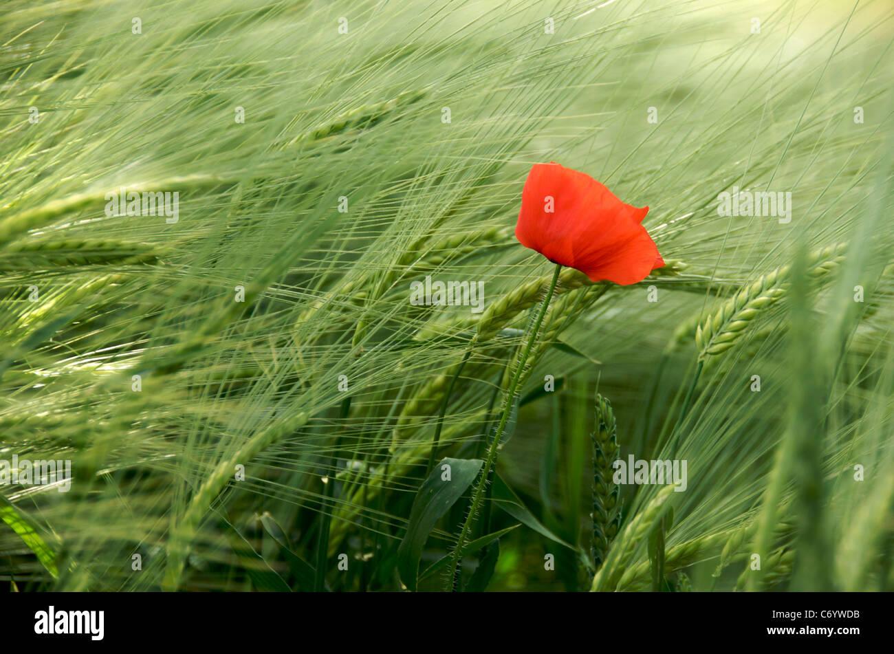 Flower - single poppy in a wheat field in France, Europe - Stock Image