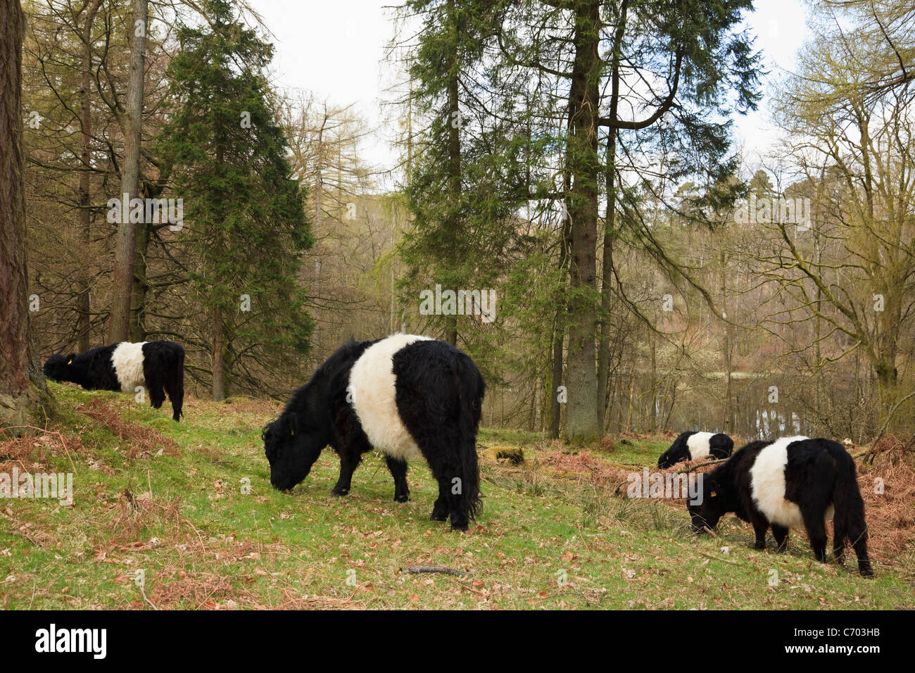 Belted Galloway cattle grazing for sustainable conservation in coniferous woodland near Tarn Hows, Cumbria, England, - Stock Image