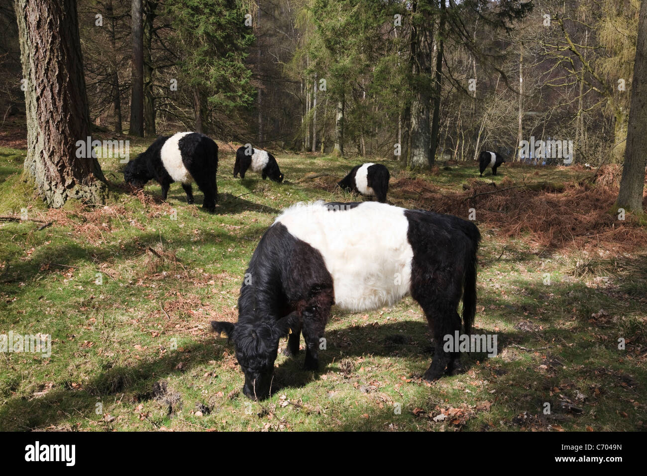 Tarn Hows, Cumbria, England, UK. Belted Galloway cattle grazing for conservation in coniferous woodland in the Lake - Stock Image