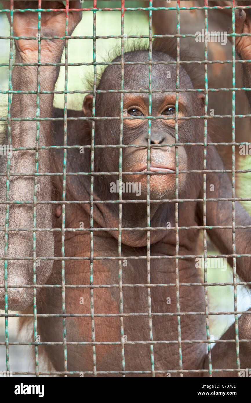 Orangutan behind a  zoo cage. - Stock Image
