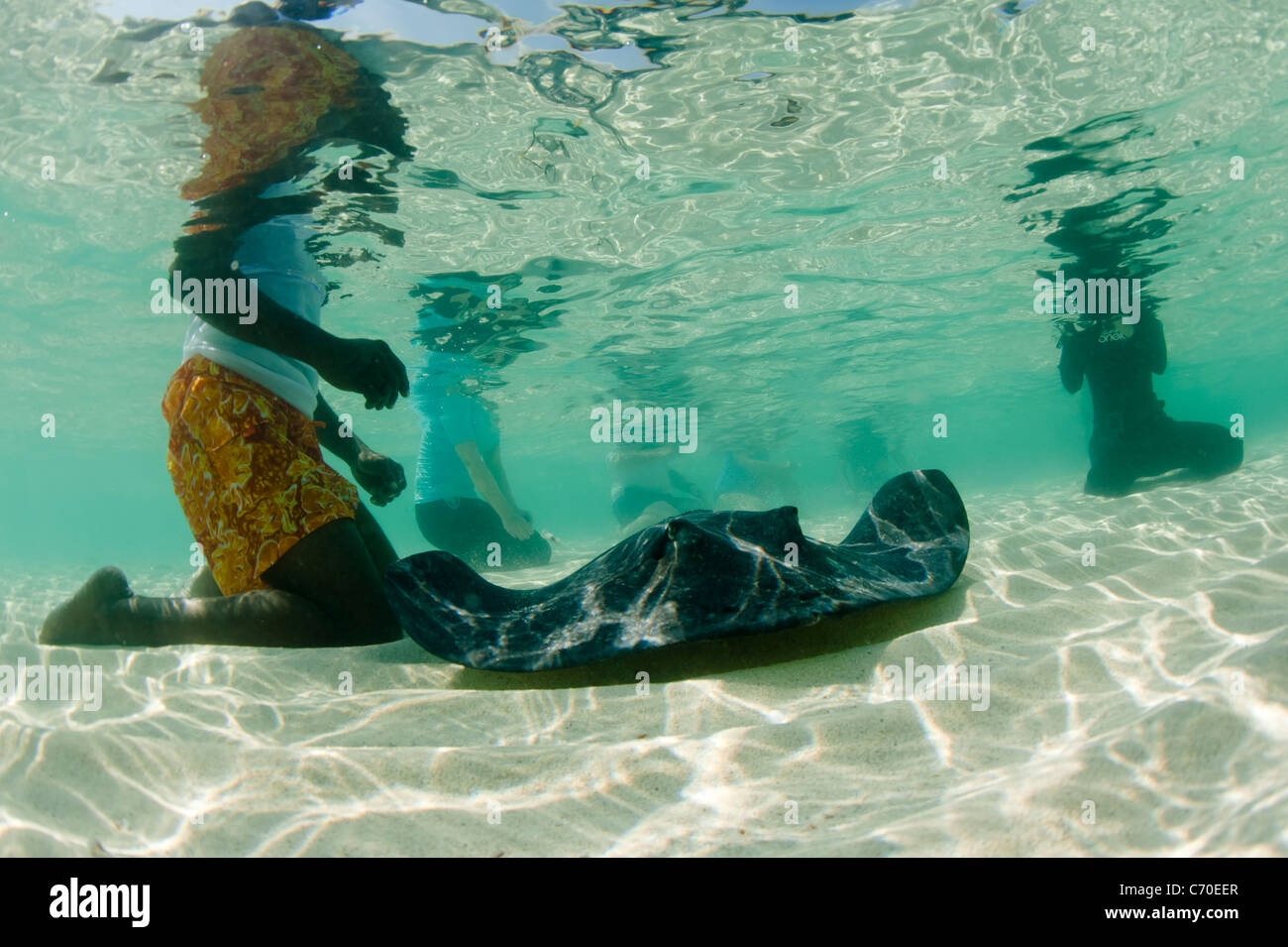 Friendly stingrays Bimini Bahamas swimming with tourists in a shallow lagoon underwater photograph - Stock Image