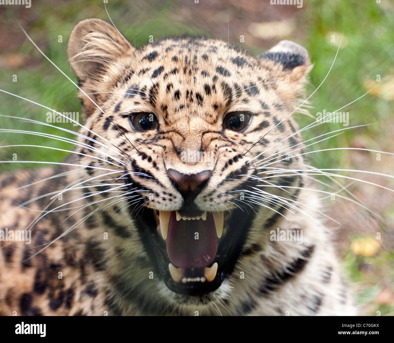 Female Amur leopard snarling at camera - Stock Image