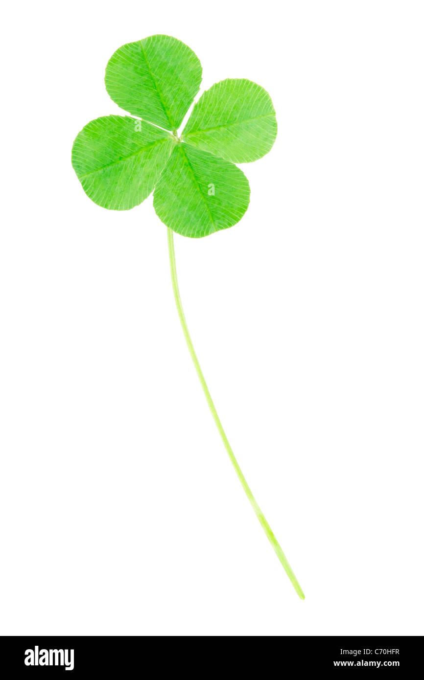 Four leaf clover shamrock - Stock Image