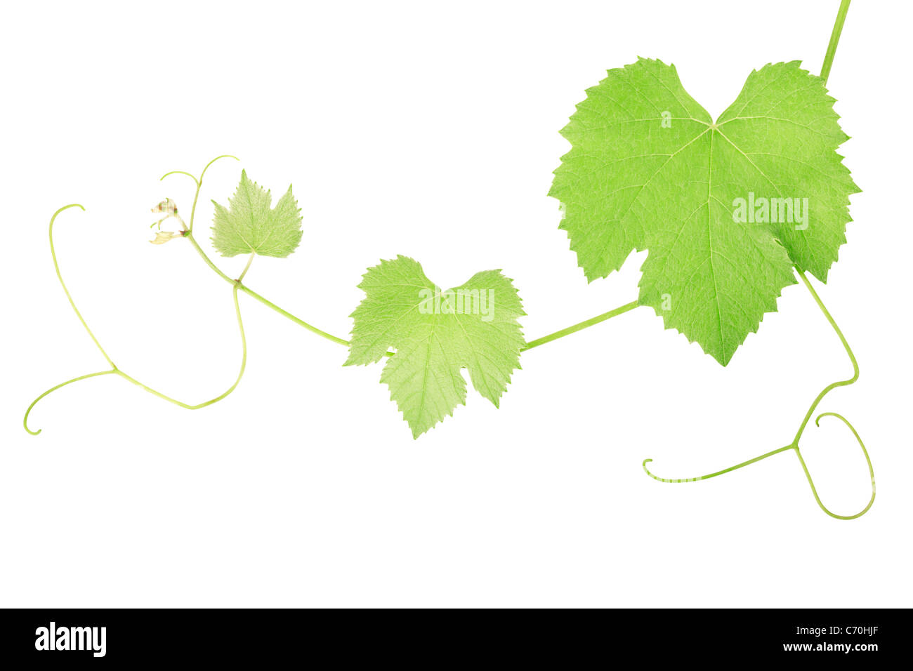 Grape vine leaves - Stock Image