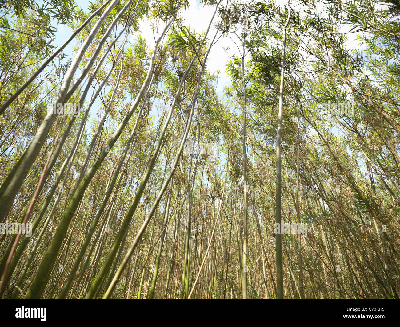 Willow biomass fuel growing outdoors - Stock Image