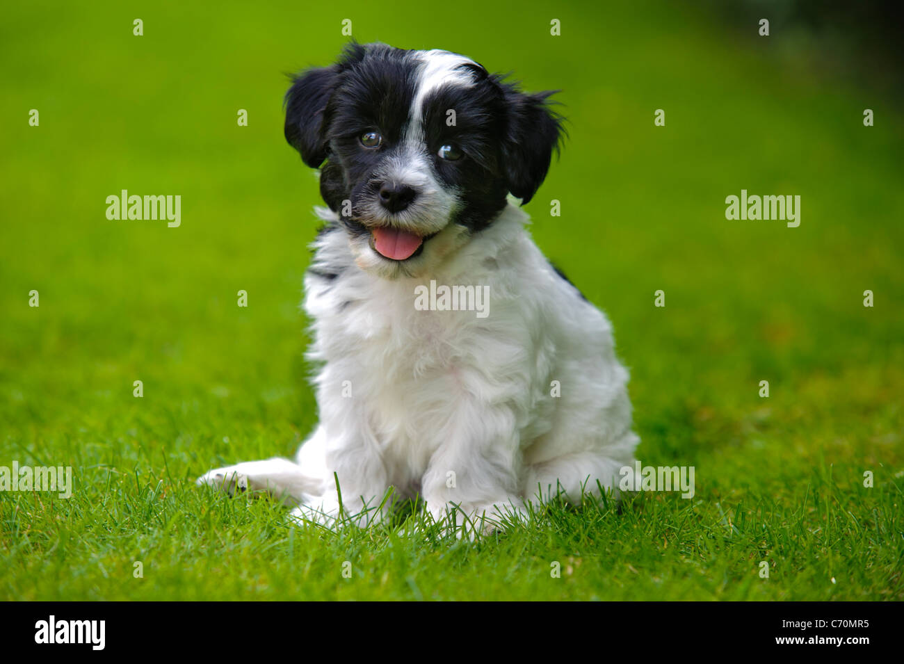 puppy dog havaneser Stock Photo
