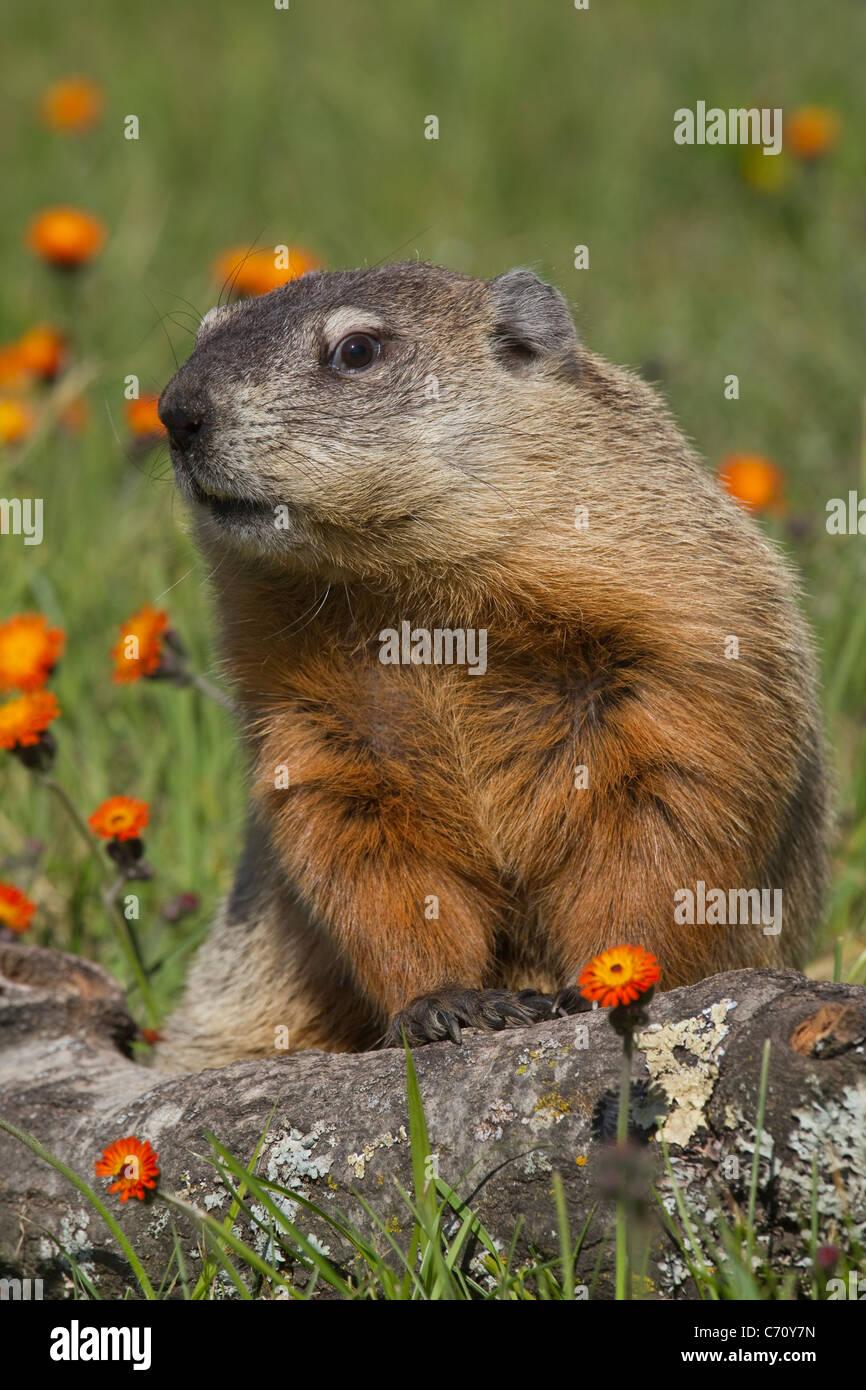 Woodchuck Groundhog Marmota monax - Stock Image
