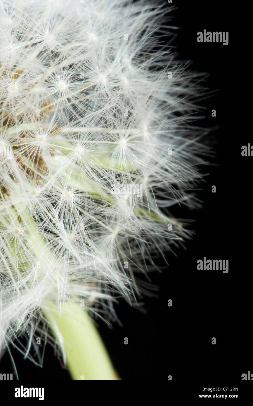 Taraxacum officinale, Dandelion clock, White subject, Black background Stock Photo