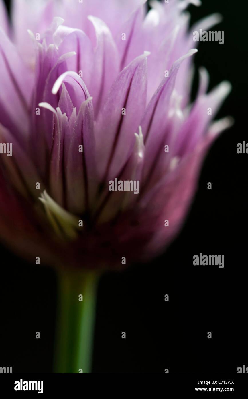Allium schoenoprasum, Chive, Single purple herb flower subject, Black background - Stock Image