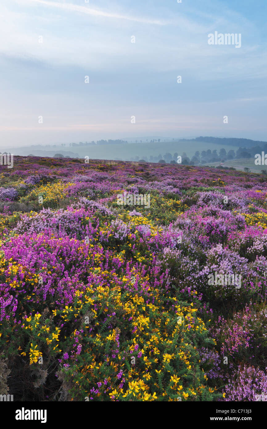Heather and Gorse on the Quantock Hills in September. Somerset. England. UK. - Stock Image