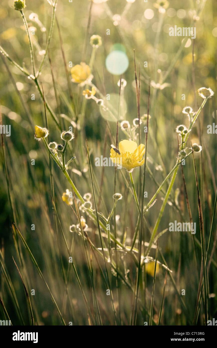 Ranunculus acris, Buttercup, Yellow flower subject, Stock Photo