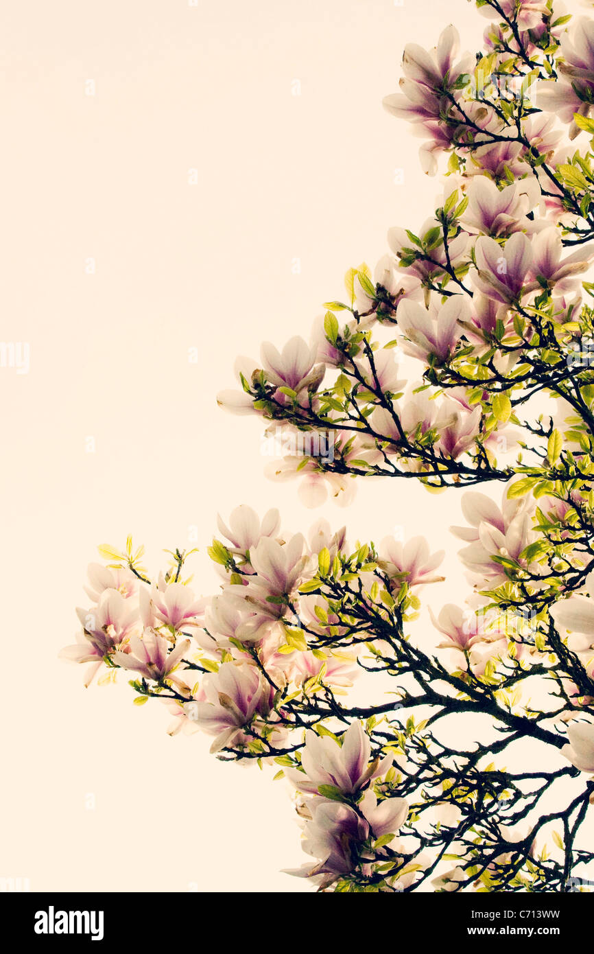Magnolia, Pink flowers on tree subject, White background - Stock Image